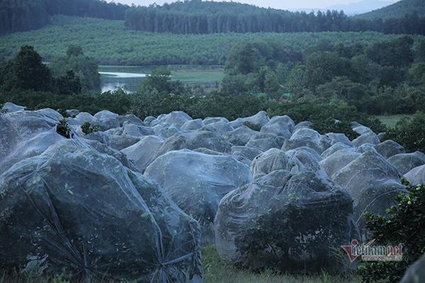 Đồi cam 6 tỷ kỳ lạ nhất Việt Nam, 2.000 cây mắc màn trắng cả rừng - Ảnh 2.