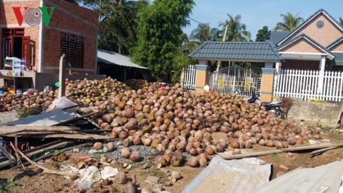 """Giá trái dừa khô ở Bến Tre tiếp tục """"lao dốc"""" - Ảnh 1."""