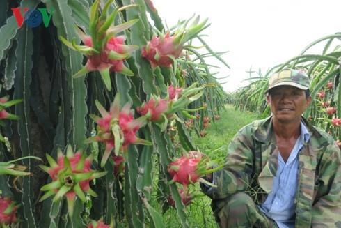 Nông dân Bình Thuận trúng lớn nhờ thanh long giữ giá cao - Ảnh 1.