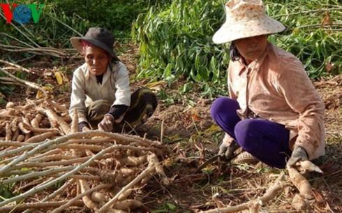 Phú Yên: Tăng cường khâu chế biến sắn để gia tăng giá trị - Ảnh 1.