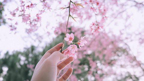 Ảnh: Ngắm hoa anh đào Nhật Bản, mai vàng đua sắc ở non thiêng Yên Tử - Ảnh 20.