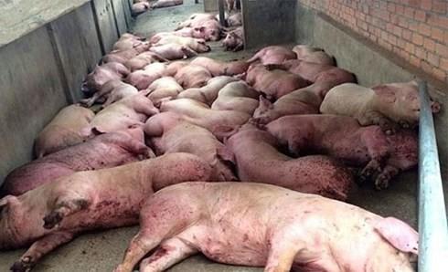 Dịch tả lợn Châu Phi lây lan qua 17 tỉnh, tiêu hủy hơn 23.000 con lợn - Ảnh 1.
