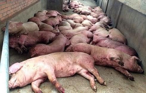 Dịch tả lợn châu Phi lây lan: Bộ NN kêu gọi đừng quay lưng với thịt lợn - Ảnh 1.
