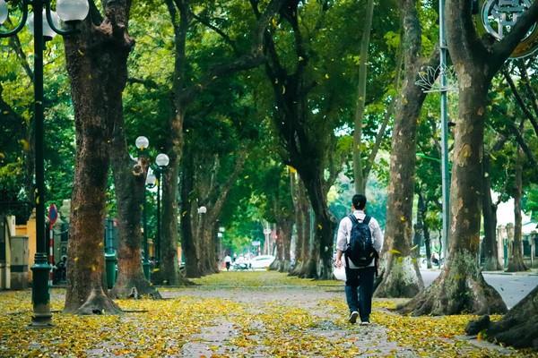 Đẹp ngỡ ngàng mùa sấu thay lá đổ vàng rực cả con đường lãng mạn nhất Hà Nội - Ảnh 1.