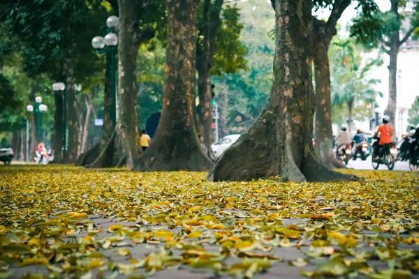 Đẹp ngỡ ngàng mùa sấu thay lá đổ vàng rực cả con đường lãng mạn nhất Hà Nội - Ảnh 5.