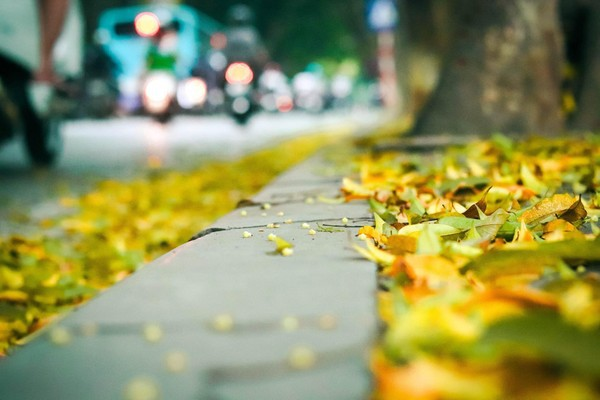 Đẹp ngỡ ngàng mùa sấu thay lá đổ vàng rực cả con đường lãng mạn nhất Hà Nội - Ảnh 6.