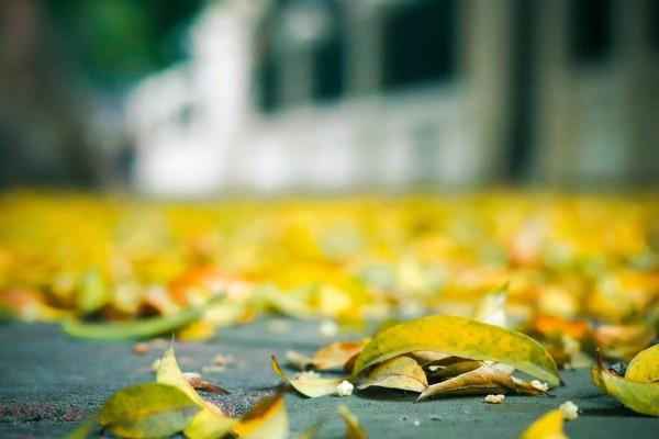 Đẹp ngỡ ngàng mùa sấu thay lá đổ vàng rực cả con đường lãng mạn nhất Hà Nội - Ảnh 7.