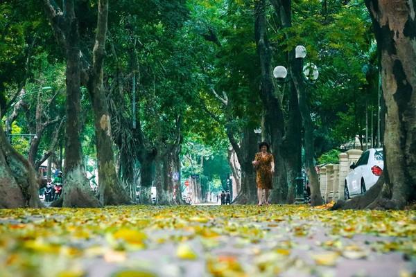 Đẹp ngỡ ngàng mùa sấu thay lá đổ vàng rực cả con đường lãng mạn nhất Hà Nội - Ảnh 9.