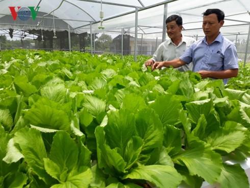 Trồng rau thủy canh trong nhà lưới, nông dân Quảng Nam bội thu - Ảnh 2.