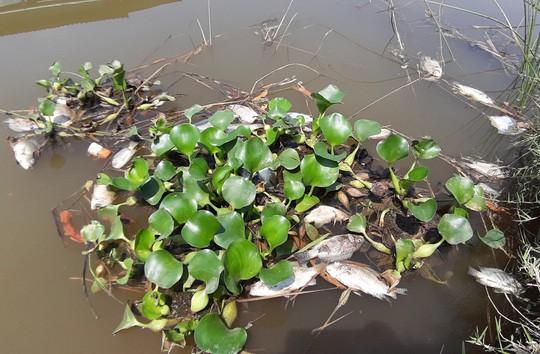 Cá chết nổi đầy sông Bàn Thạch - Ảnh 3.