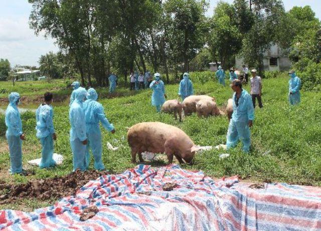 Dịch tả lợn châu Phi vẫn diễn biến phức tạp - Ảnh 1.