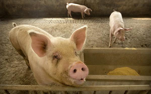 Bùng phát dịch tả lợn châu Phi quy mô lớn ở Bulgaria - Ảnh 1.
