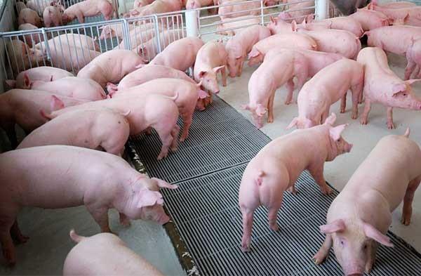 Chế phẩm sinh học trong chăn nuôi ngăn chặn dịch tả lợn Châu Phi - Ảnh 1.
