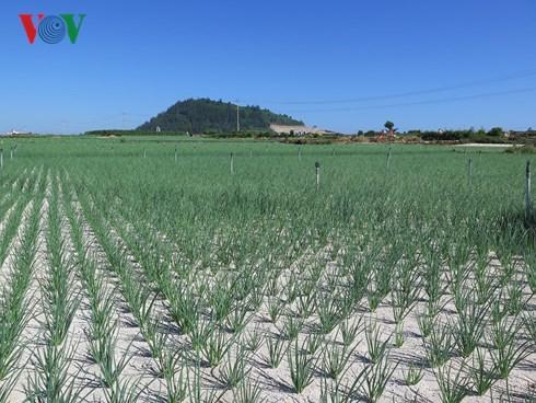 Sốt chuyển nhượng đất nông nghiệp ở Lý Sơn - Ảnh 1.