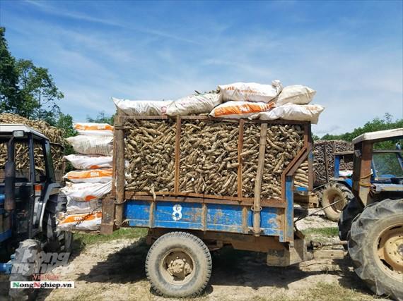 Thừa Thiên - Huế: Xe giăng kín cổng nhà máy chờ nhập sắn - Ảnh 4.
