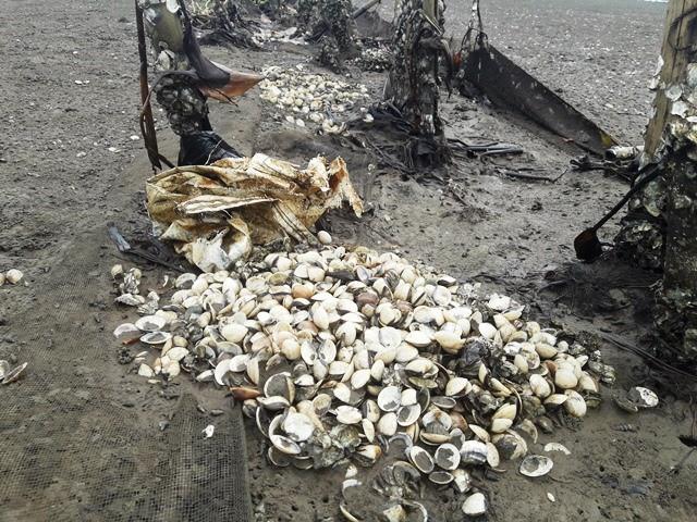 Ngao chết trắng bãi, người nuôi thiệt hại hàng chục tỉ đồng - Ảnh 5.