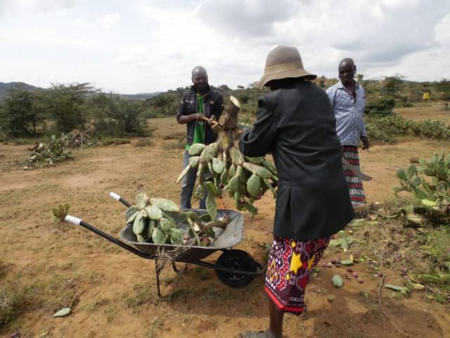 Xương rồng ác quỷ - mối đe dọa mới của nông dân Kenya - Ảnh 2.