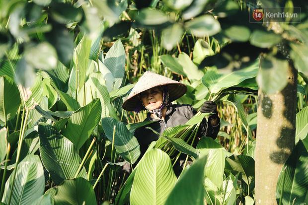 """Ảnh: """"Thủ phủ"""" lá dong lớn nhất Hà Nội hối hả thu hoạch vào vụ Tết - Ảnh 14."""