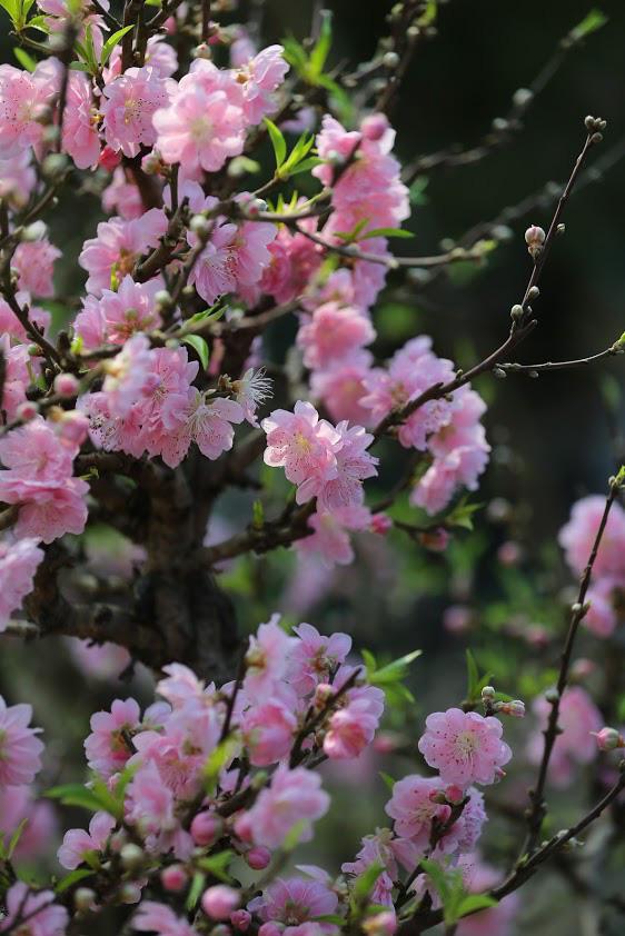 Dân buôn nhấp nhổm sợ mất Tết vì đào cảnh nở gần hết hoa, dài cổ chờ khách - Ảnh 3.