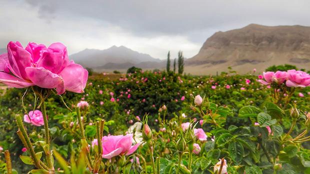 Câu chuyện về những bông hồng thơm nhất thế giới của Iran: Cả một thị trấn toàn hoa hồng, người dân làm một tháng là đủ tiền tiêu cả năm không hết - Ảnh 5.