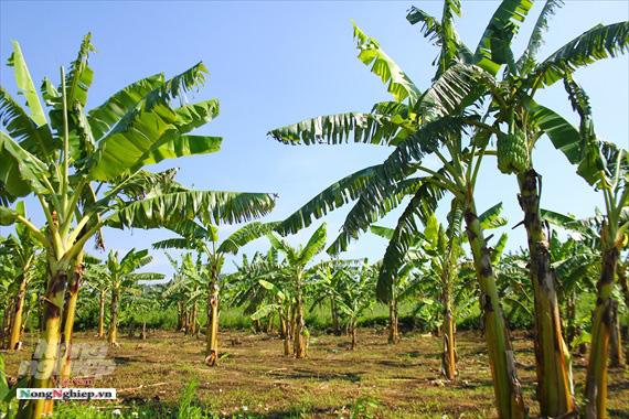 Nông dân vùng cao thu về cả trăm triệu nhờ vụ chuối Tết - Ảnh 2.
