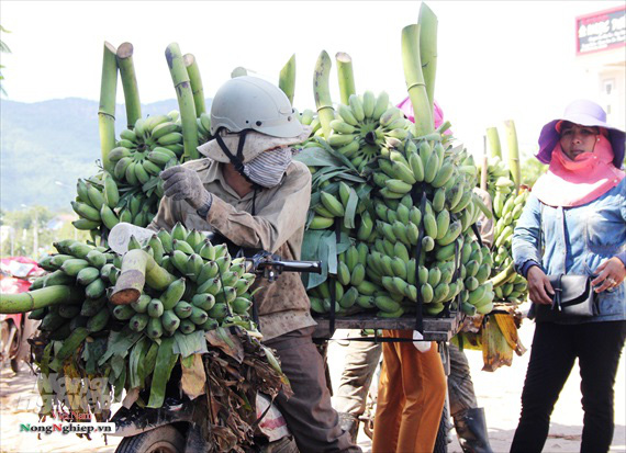Nông dân vùng cao thu về cả trăm triệu nhờ vụ chuối Tết - Ảnh 8.