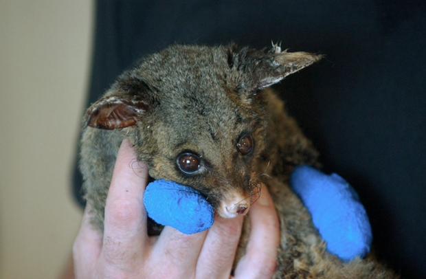 Thương quá tự nhiên ơi: Hình ảnh xót xa cho thấy đại thảm họa cháy rừng tại Úc đang khiến các loài vật bị giày vò kinh khủng đến mức nào - Ảnh 3.