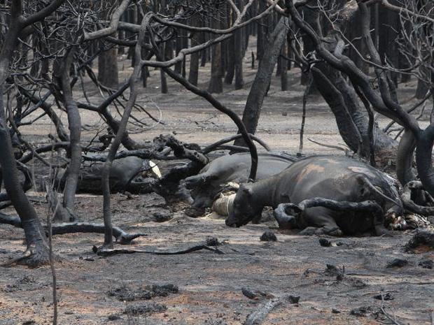 Thương quá tự nhiên ơi: Hình ảnh xót xa cho thấy đại thảm họa cháy rừng tại Úc đang khiến các loài vật bị giày vò kinh khủng đến mức nào - Ảnh 14.