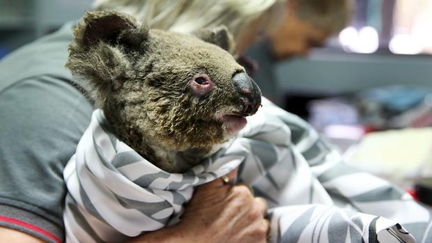Chú chó anh hùng gây xôn xao cộng đồng mạng khi sở hữu siêu năng lực giúp giải cứu gấu koala gặp nạn trong thảm họa cháy rừng ở Úc - Ảnh 5.
