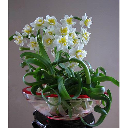Cận Tết, điểm danh lại những loại hoa đẹp rực rỡ nhưng phải hết sức thận trọng vì có thể khiến mất trí nhớ thậm chí gây chết người rất nhanh  - Ảnh 4.