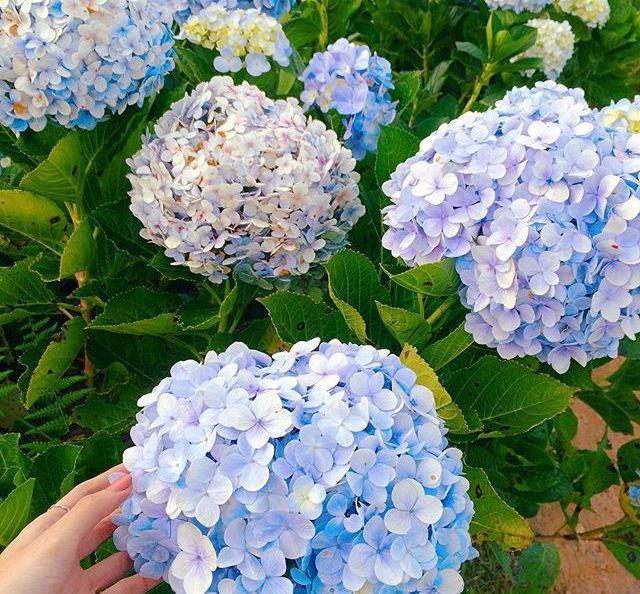 Cận Tết, điểm danh lại những loại hoa đẹp rực rỡ nhưng phải hết sức thận trọng vì có thể khiến mất trí nhớ thậm chí gây chết người rất nhanh  - Ảnh 5.