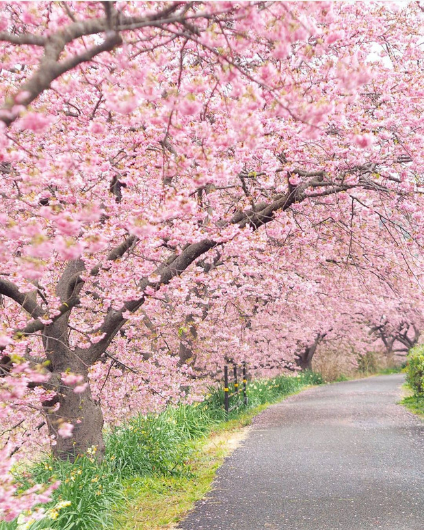 """Đất nước """"đẹp bất chấp thời gian"""" đích thị là Nhật Bản, xem ảnh hoa anh đào nở rộ về đêm mà chỉ biết ngỡ ngàng vì quá ảo!"""
