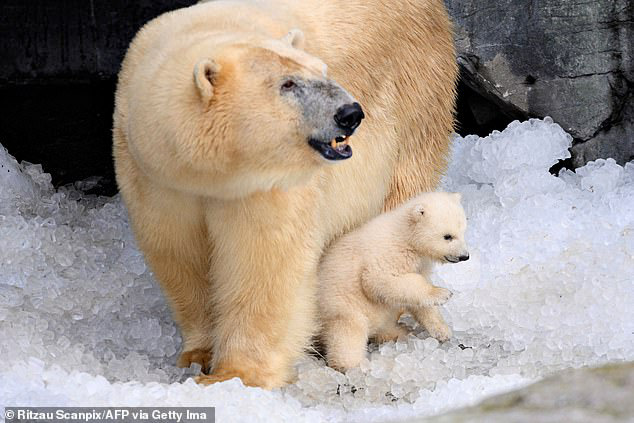 Hết thức ăn do biến đổi khí hậu và hoạt động khai thác của con người, gấu Bắc Cực quay sang ăn thịt đồng loại, gấu mẹ ăn gấu con - Ảnh 2.