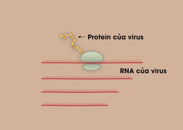 [Infographic] Covid-19 lây nhiễm tế bào phổi như thế nào? Tại sao nó lại nguy hiểm vậy? - Ảnh 2.