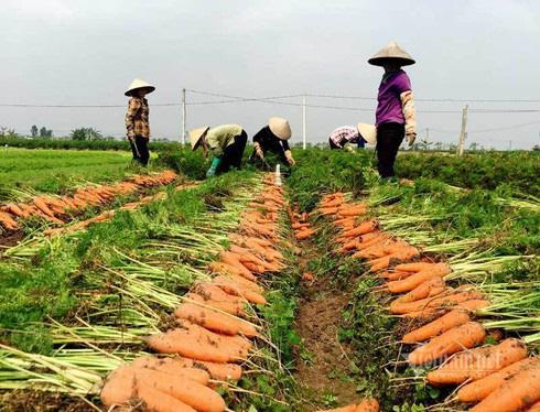 Nông dân kể chuyện chia nhau 100 tỷ trên cánh đồng rực đỏ - Ảnh 2.