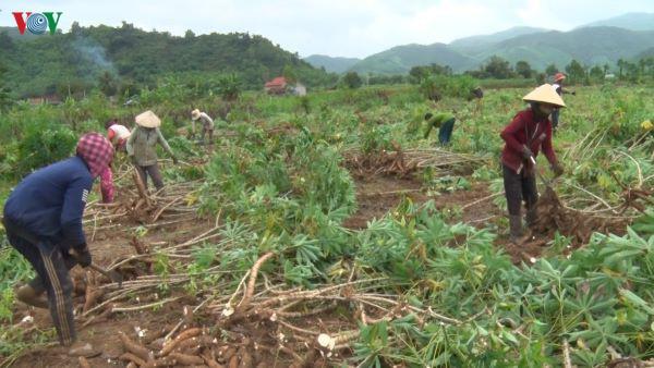 Giá sắn nguyên liệu tăng cao, nông dân phấn khởi - Ảnh 1.