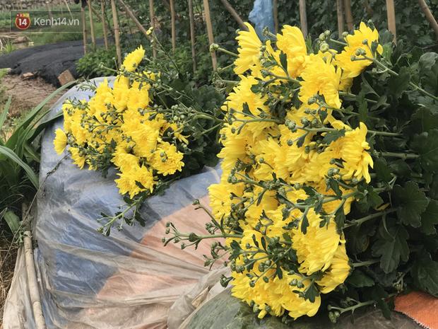 """""""Thủ phủ"""" hoa tại Hà Nội nở rộ giữa dịch COVID-19: Tưởng thắng vụ mà thành bại, hoa cười nhưng người khóc - Ảnh 3."""
