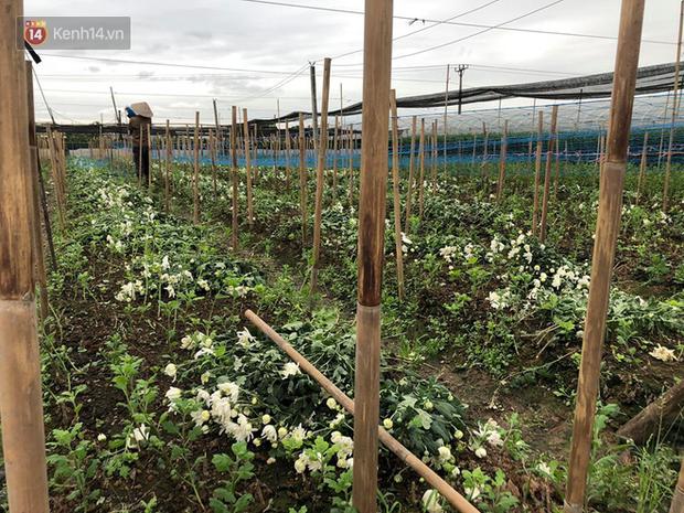 """""""Thủ phủ"""" hoa tại Hà Nội nở rộ giữa dịch COVID-19: Tưởng thắng vụ mà thành bại, hoa cười nhưng người khóc - Ảnh 15."""