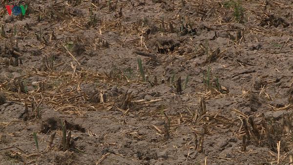 """Phú Yên: Hàng chục ngàn hecta cây trồng """"khát"""" nước, nguy cơ mất trắng - Ảnh 1."""