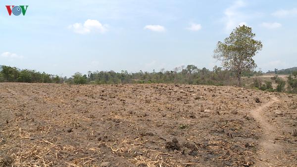 """Phú Yên: Hàng chục ngàn hecta cây trồng """"khát"""" nước, nguy cơ mất trắng - Ảnh 2."""
