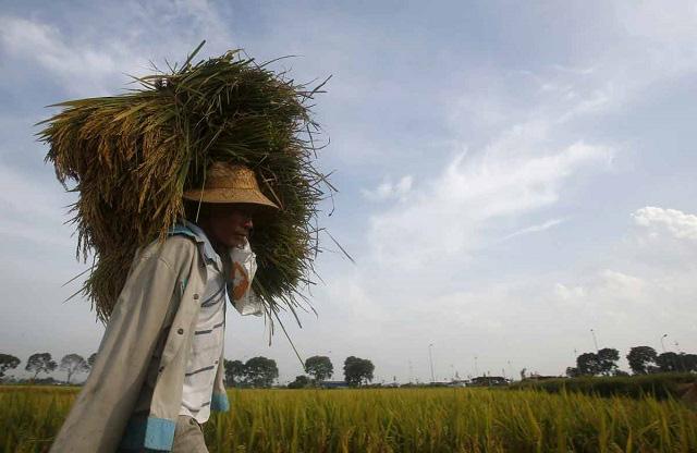 Giá gạo xuất khẩu của Việt Nam, Ấn Độ cao nhất một năm - Ảnh 1.