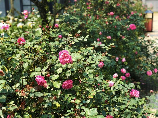 Việt Nam vừa có một thung lũng hoa hồng rộng 50.000 m2 được trao kỷ lục quốc gia, lại có thêm nơi để check-in hè này rồi! - Ảnh 2.