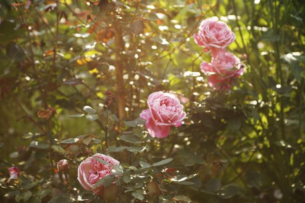 Việt Nam vừa có một thung lũng hoa hồng rộng 50.000 m2 được trao kỷ lục quốc gia, lại có thêm nơi để check-in hè này rồi! - Ảnh 3.