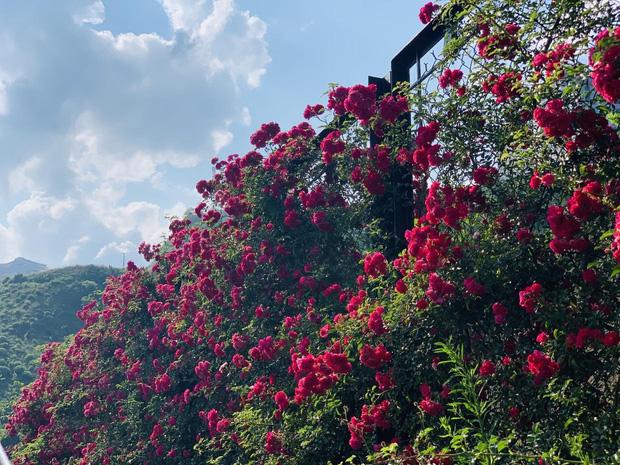 Việt Nam vừa có một thung lũng hoa hồng rộng 50.000 m2 được trao kỷ lục quốc gia, lại có thêm nơi để check-in hè này rồi! - Ảnh 5.