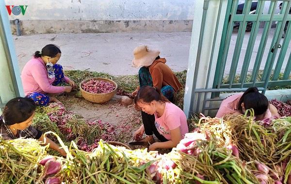 Hành Lý Sơn tăng giá, có gia đình thu lãi đến 50 triệu đồng - Ảnh 1.