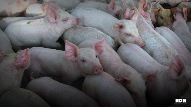 Trước khi lập đỉnh 105.000 đồng/kg, giá lợn có 5 tháng đầy biến động - Ảnh 2.