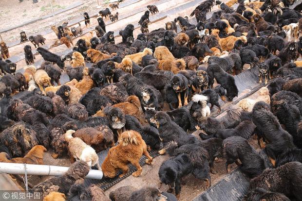 Câu chuyện buồn về cơn sốt chó ngao Tây Tạng: Từ thần khuyển chục tỷ đồng đến bầy chó hoang hàng vạn con bị ruồng bỏ - Ảnh 7.