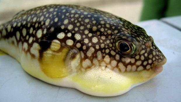 Đi tắm biển, ăn đồ biển, cần tránh xa những loại hải sản và sinh vật biển cực độc có thể gây chết người này - Ảnh 1.