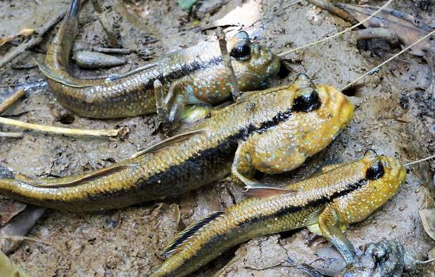 Việt Nam có một loài cá biết leo cây, chạy nhảy và còn là đặc sản nổi tiếng cả một vùng - Ảnh 5.