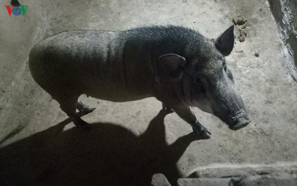 Nuôi lợn rừng chơi, bất ngờ lãi lớn - Ảnh 4.